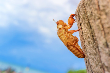 abandoned cicada shell on tree trunk, concept of new life or breaking free
