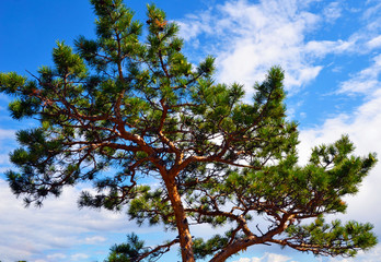 Tree branch close-up. Green spruce. Coniferous forest. Taiga. Cedar. Christmas. New year. Summer background. Pine tree on blue sky background