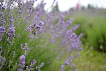 Bee on a lavender bush in shallow DOF