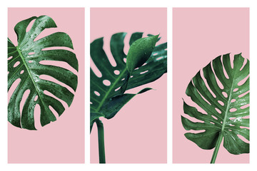 Monstera deliciosa or swiss cheese plant tropical leaves and water drop isolated on pink background Fototapete