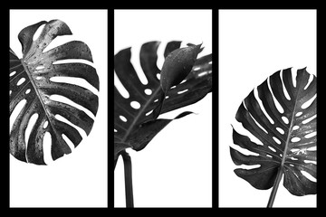 Wall Mural - Monstera deliciosa or swiss cheese plant tropical leaves and water drop black and white style
