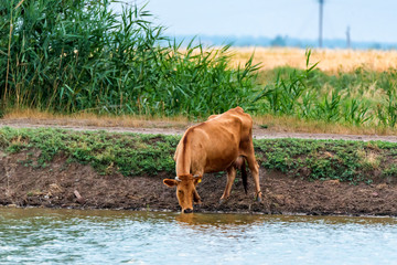Young calfdrink water from river