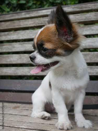 Chihuahua Puppies With White Sugar Stock Photo And Royalty Free