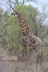 Giraffe in the Kruger National Park