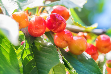 Ripe pink cherries on the branch