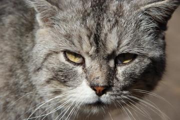 Muzzle of cat. Cute muzzle of grey cat closeup
