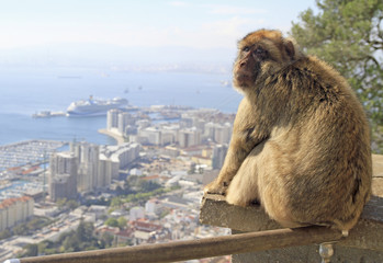 Monkey at the Gibraltar Rock