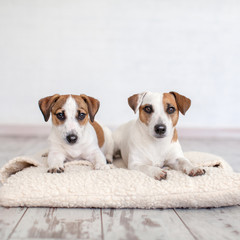 Two dogs lying on pillow