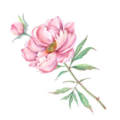 watercolor drawings flowers and buds peonies