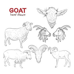 Sketch. Set of goats. Hand drawn.