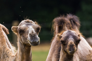 Two Bactrian camels together captured in Gloucestershire during the summer of 2018.
