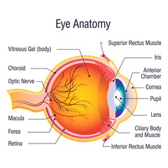 Eye anatomy info concept background. Cartoon illustration of eye anatomy info vector concept background for web design
