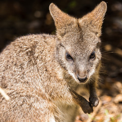 Square crop of a Parma Wallaby captured in Gloucestershire during the summer of 2018.
