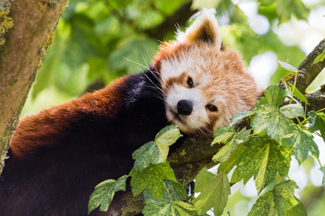Red Panda captured up a tree resting in Gloucestershire during the summer of 2018.