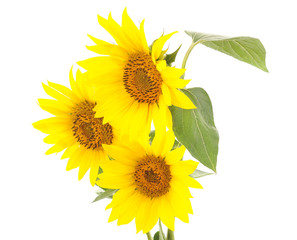 Three yellow sunflowers.