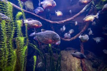 Cattivissimi Piranha in banco, sul fondale di un fiume sudamericano pronti all'attacco