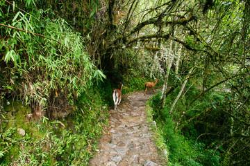 Two llamas walk on a path towards Machu Picchu