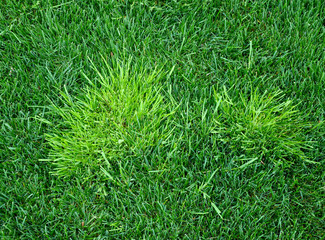 A troublesome annual bluegrass light green in color called poa trivialis