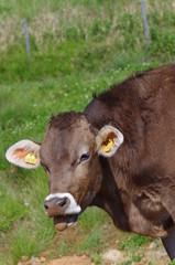 舌を出す牛
