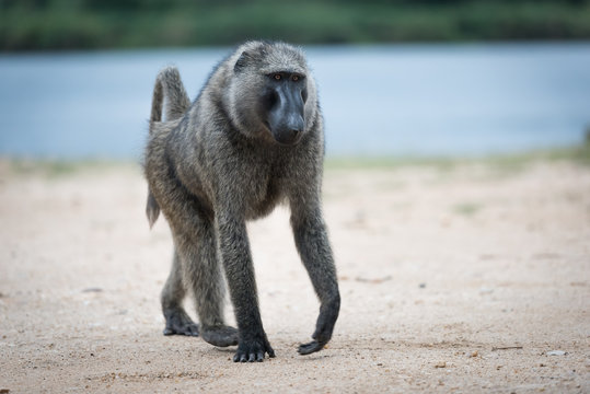 Olive Baboon slowly walking in the Murchinson Falls National Park in Uganda