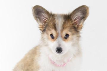 welsh corgi puppy face on white background
