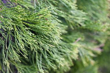 Pine Tree Needles Up Close #2