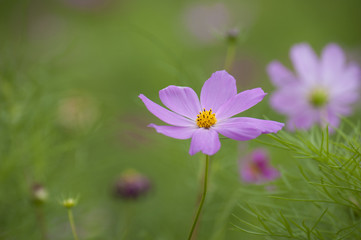Blooming cosmos