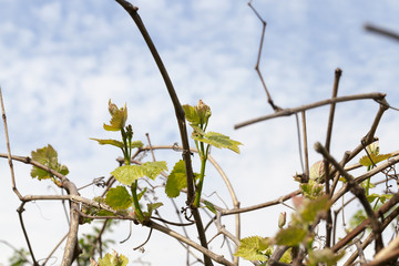 vine sprout