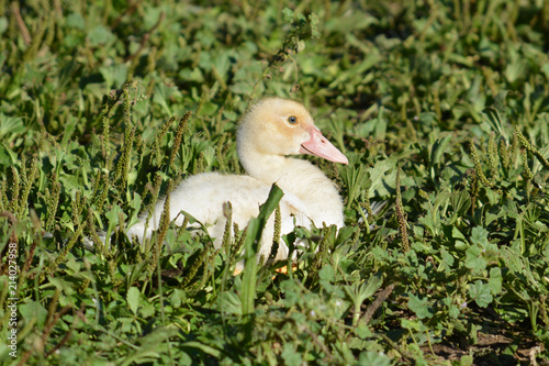 finest selection aed5b 2b2af Baby Gans im Gras