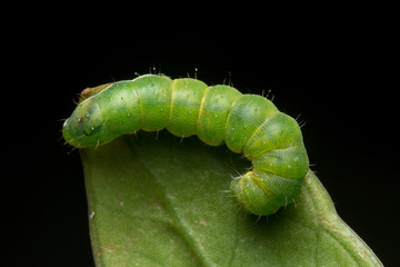 Macro Image of Beautiful green caterpillar on leaf with isolated on black