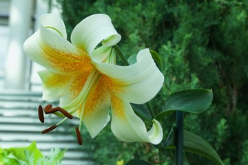 Close up view of a single white lily flower in full bloom