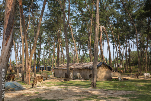 Rural Indian Village Scene With Straw Huts And Cows Grazing Photograph Shot At A
