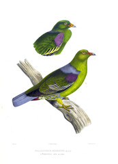 Illustration of a dove