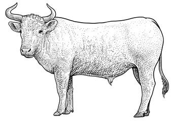 Bull illustration, drawing, engraving, ink, line art, vector