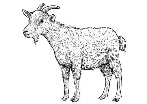 Goat illustration, drawing, engraving, ink, line art, vector