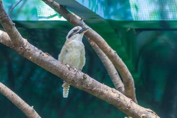 kookaburra on a perch in the zoo