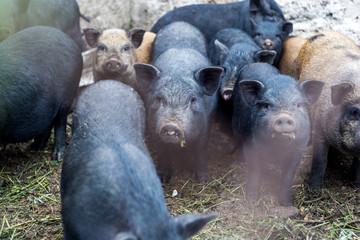 Small Vietnamese pigs on the farm