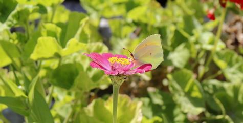 Farfalla che mangia, Baia di Ieranto, Massa Lubrense, Italia
