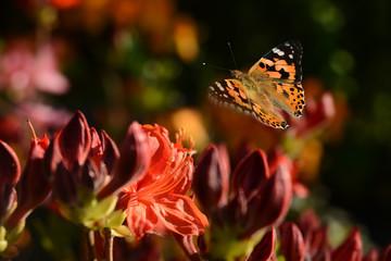 Schmetterling 493