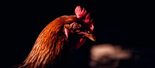 Portrait picture of chicken