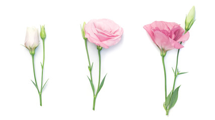 beauty pink eustoma flower isolated on white background
