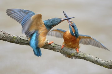 Kingfishers (Alcedo atthis), two females fighting over breeding place, Swabian Alb biosphere reserve, Baden-Wurttemberg, Germany, Europe