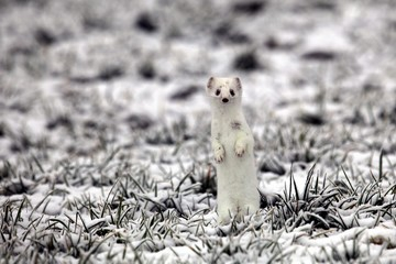 Ermine (Mustela erminea) in its winter coat on a hoarfrost-covered meadow, Allgaeu, Bavaria, Germany, Europe