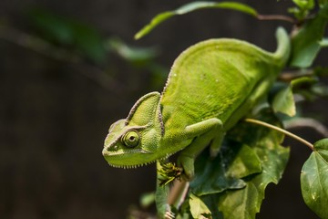 Close up of veiled chameleon on branch