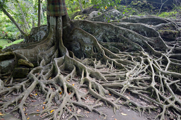 Aerial roots of a ficus tree, Bali, Indonesia, Asia