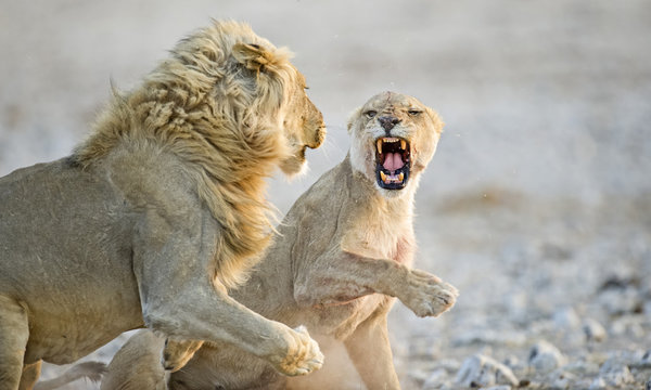 African Lions ( Panthera leo), adult male and female, courtship behavior, Etosha National Park, Namibia, Africa