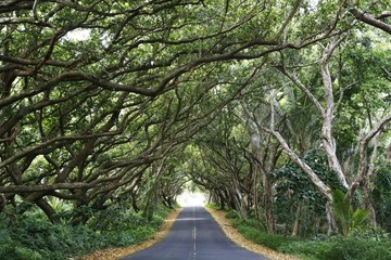 Tree tunnel along Highway 137, Red Road Highway, Hilo, Big Island of Hawaii, USA, North America
