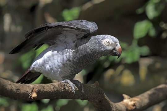 African Grey Parrot (Psittacus erithacus) sitting on a tree and spreading its wings, native to West Africa, captive, Heidelberg, Baden-Wurttemberg, Germany, Europe