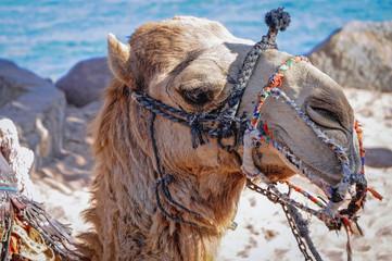 Portrait of camel in Taba resort town, Egypt