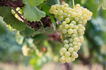 Large bunch of white wine grapes on vine